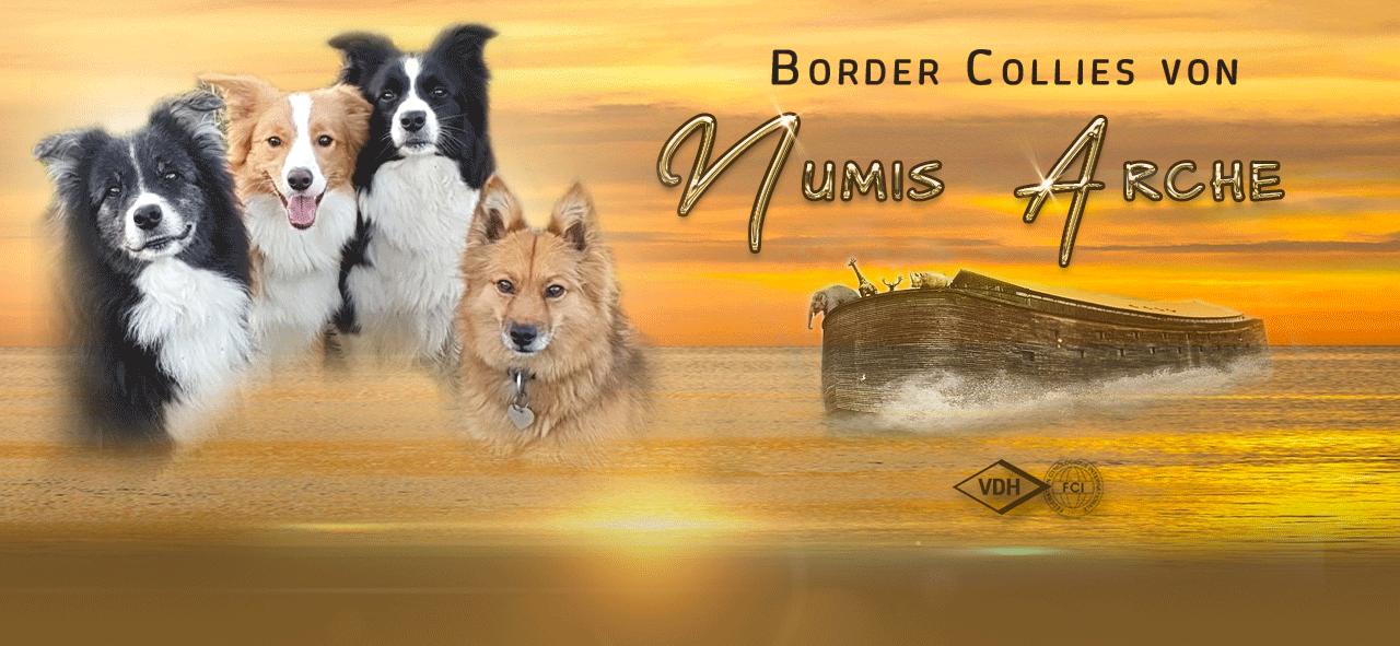 Border Collie Zucht Numis Arche